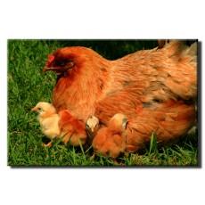 مزرعه پرورش مرغ ارگانیک