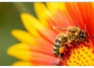 سلامت زنبور و گرده افشانها